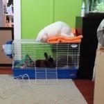 ウサギさんが気になってしょうがない白猫さん