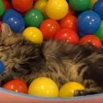 ボールプールで遊ぶ10匹の猫ちゃん