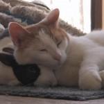 うさぎを枕にして寝るネコ、可愛い組み合わせ♪