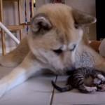 子猫を守りながら遊ぶ秋田犬(^◇^)