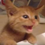 テーブル上の刺身を見つけた子猫、ひょこっと顔を出してハンターになる♪