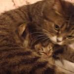 お母さんのお腹の中で隠れてる子猫さん達