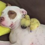 ワンちゃんをお母さんだと思って一緒に寝る2羽のヒヨコさん