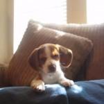 「キャオ~~ン」子犬が全力で遠吠えをする姿が可愛らしい