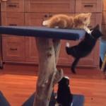 キャットタワーに登れない子ネコを助けようとする子猫ちゃん!?