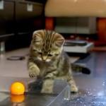 水に浮いたピンポン玉と遊ぶ子猫達(^◇^)