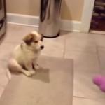 [8秒] 運動オンチのワンちゃんにおもちゃを投げたらこうなった・・・