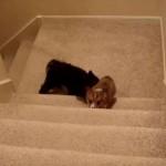 階段を登れない弟のおしりを押して登らせる、優しい兄犬ちゃん
