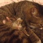 母猫のお腹に包まれて安らぐ、産まれて数日の子猫