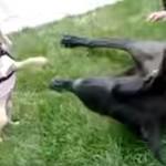 小さなチワワと大型犬との戦い