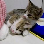 寝ている子ネコを、抱きしめながら毛づくろいをする子ネコにキュン♪