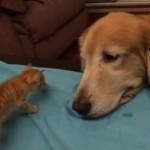 【初対面】子猫を家族に迎えるワンちゃんの目がとっても優しい♪