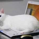 オッドアイの白猫さん、パソコンで仕事をしていると、「遊んでニャン」と邪魔をする♪