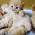 両脇に寝ている子猫に挟まれて起き上がれない子猫さん