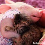 保護された子猫ちゃんの母親となって育てる優しいブタさん