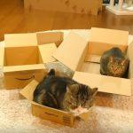 大中小の箱を選んでもらったら、容積オーバーの箱を真っ先に選ぶ猫さん