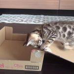 ダンボール箱で遊んでいると、自動収納されてしまう子ネコちゃん