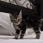 子猫がベッドの上でピョンピョン飛び跳ねる♪