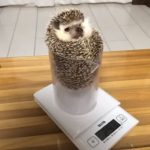 ハリネズミの体重測定が可愛すぎた♪