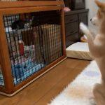 小猫さんにお願いポーズをする柴犬