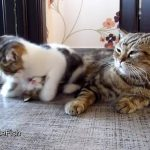 二匹の子ネコがプロレスをごっこをしている隣で、昼寝をしたいママネコ