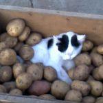 収穫中のジャガイモ箱の中でぐっすり眠る猫さん