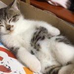 家にやってきて5日目の子猫ちゃん、環境になれて無防備な姿で寝る(=^・^=)