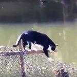 フェンスを伝って川をズンズン渡る猫ちゃん、フェンスがなくなると??