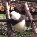 なかなか登れないパンダの後ろ姿がカワイイ♪
