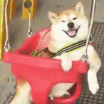 笑顔でブランコに揺られる柴犬さん♪
