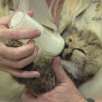 チーターの赤ちゃんが、ネコみたいで可愛い