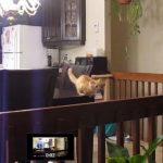 ジャンプが下手なネコちゃん