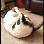 毛づくろいをすると重力に負けてコロコロ転がってしまうデブ猫さん(^◇^)