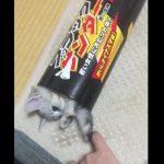 ブラックサンダーの箱から攻撃してくる子猫ちゃんが可愛い