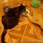 こっそりご飯をとって食べるネコちゃん、バレた後には・・・