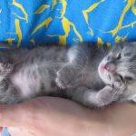 シェ~のポーズで寝ている子猫ちゃん