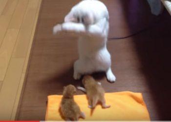 子猫の扱いがわからずに、踊りだしてしまう猫、その2