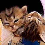 仲良くくっつきながら、うとうとしている子猫さん