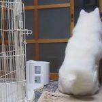 大きなオナラをするも、尻尾をフリフリして一生懸命ごまかす秋田犬のげんきくん