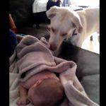 赤ちゃんに毛布をかけてあげる優しい母親のようなワンちゃん