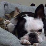 ブルドックの耳をはむはむする子猫