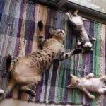 破壊力抜群♪ お腹まるだしで寝る猫さんたち【猫画像】