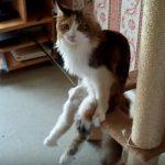 ネコタワーに座りながら、長い脚を見せるセクシーキャット
