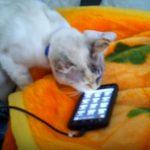 スマホから子猫の鳴き声が聞こえると、くわえて寝床まで運ぶ猫ちゃん