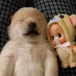 寝ながらほえ方を練習する、生後9日の柴犬