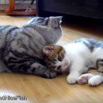 先輩ネコへ可愛く、かまってアピールをする子猫♪
