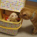 「ドキドキ・・ドキドキ・・」 先住猫と新入り子猫の初対面