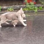 「ぬれちゃうニャン」雨が降る中、子供をくわえながら小走りで帰る母ネコ