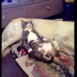 こっそりワンちゃんの上で寝る猫ちゃん♪ バレると・・・