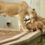 ライオンの母親が子供に毛づくろいをしてやってると・・・